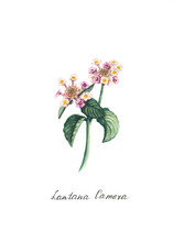 Watercolor Lantana Flower Illu...
