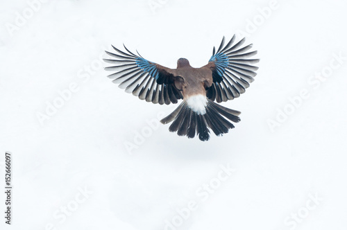 Fotomural Eurasian jay (Garrulus glandarius) flying over snow