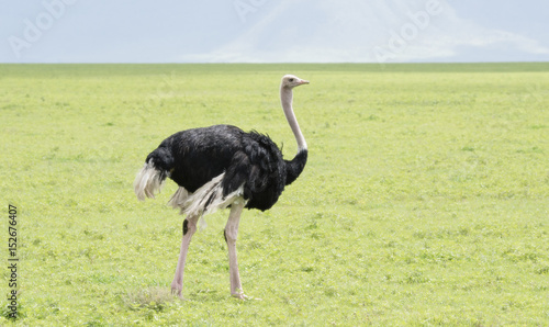 Staande foto Struisvogel Common Ostrich (Struthio camelus) in Grasslands on the Seregenti in Northern Tanzania