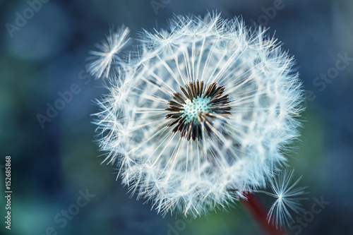 Deurstickers Paardebloem Dandelion. Dandelion fluff. Dandelion tranquil abstract closeup art background.