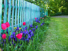 Wooden Fence And Flower Bed With Pink Tulips And Violet Irises