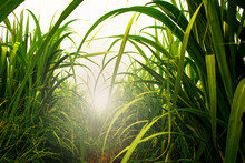 Sugarcane Field In Blue Sky With White Sun Ray