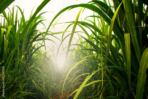 Canvastavla Sugarcane field in blue sky with white sun ray