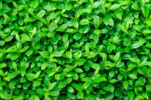 Green Foliage Background, Leaf Texture, Bush, Bright Vibrant Colors, Seamless Backdrop Template, Summer, Spring