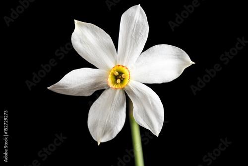 Narcissus Wild Narcissus Stellaris. Wild flower isolated on black background.