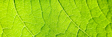 Green Leaf Texture With Visibl...