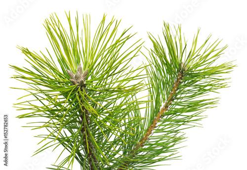 Pine Black Pinus nigra isolated on white background