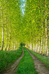 Fototapeta Brzoza Birch alley