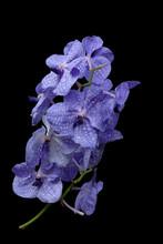 Purple Orchids On Black Backgr...