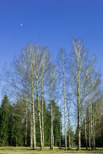 Circle Of Birches Among The Fo...