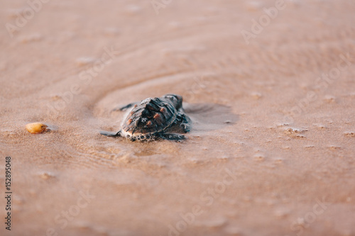 Valokuva Newly hatched baby turtle toward the ocean
