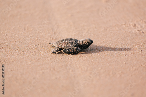 Newly hatched baby turtle toward the ocean Canvas-taulu