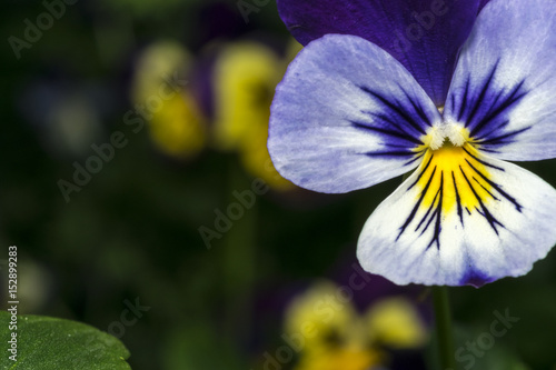 Stickers pour porte Pansies White, purple and yellow pansy closeup