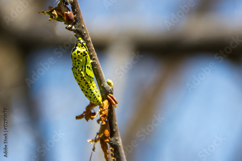 Poster  caseworm of caterpillar on the tree