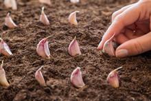 Woman's Hand Planting Small Ga...