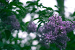Blooming lilac with blurred background on a branch.