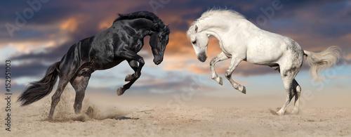 Fototapeta Two beautiful horse portrait in motion rearing up against sunset sky in desert dust. Black and white horses banner for website obraz