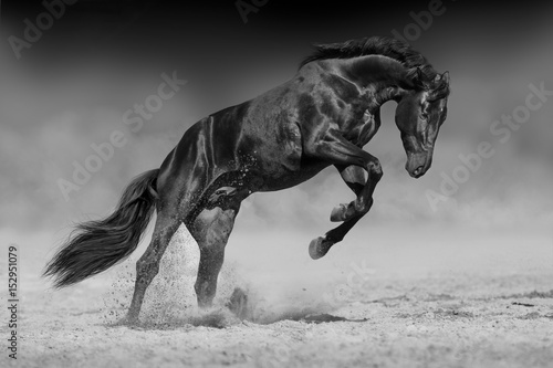 black-horse-stallion-play-and-jump