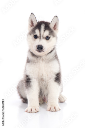 siberian husky puppy sitting on white background Canvas Print