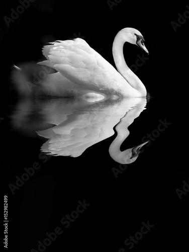 cygne reflet oiseau romantisme romantique amour élégant aile étang mare eau