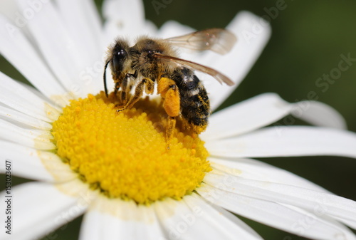 Plakat Zachodnia pszczoła zbierająca pyłek na marguerite