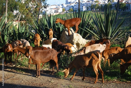 Goatherd with the white village to the rear, Alozaina, Spain. Fototapet