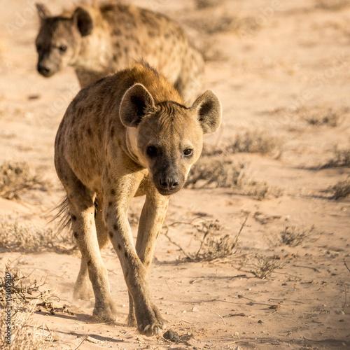 Foto op Canvas Hyena Hyänen-Rudel in der Kalahari Wüste