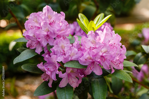 Tuinposter Azalea Rhododendron Catawbiense cultivated in a garden