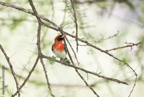 Fotografia, Obraz  Red-headed Weaver (Anaplectes rubriceps) in Acacia Tree in Northern Tanzania