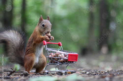 Deurstickers Eekhoorn Red squirrel near the small shopping cart with nuts