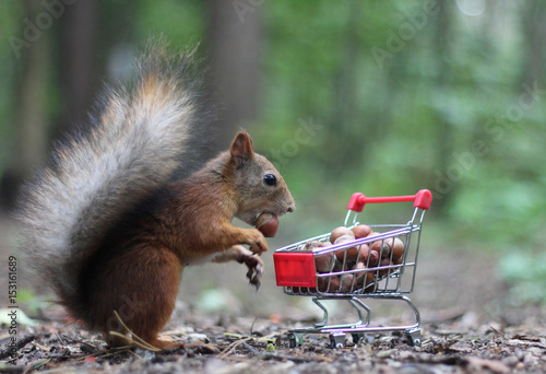 Fotobehang Eekhoorn Red squirrel near the small cart from a supermarket with nuts