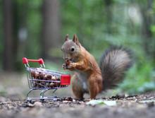 Red Squirrel Near The Small Ca...