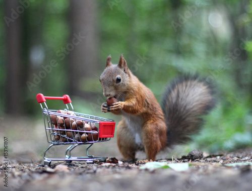 La pose en embrasure Squirrel Red squirrel near the small cart from a supermarket with nuts