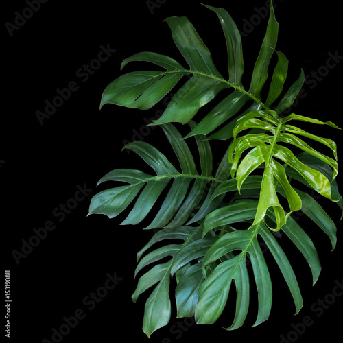 Poster  Green leaves of Monstera philodendron plant growing in wild, the tropical forest plant, evergreen vine on black background