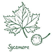 Sycamore (american Sycamore Tree Platanus Occidentalis) Leaf And Fruit, Hand Drawn Doodle, Sketch In Pop Art Style, Vector Illustration