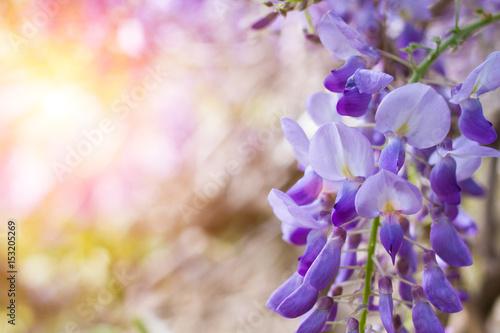 Foto auf Gartenposter Landschappen flowers of lilac locust tree