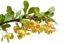 Twigs Berberys With Flowers On...