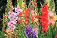 Gladiolus Gladioli Flower Grow...
