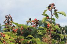 Blackberry Blackberries Bush W...