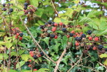 Blackberry Blackberries  Bush ...