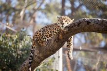 Leopard Sleeping In Tree In Captivity