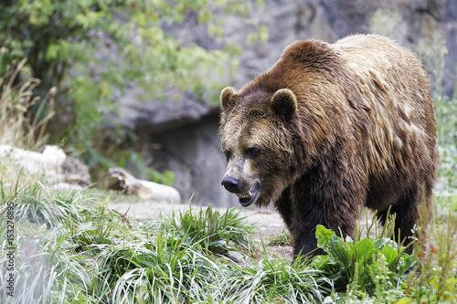 Fotografie, Obraz  Grizzly Bear
