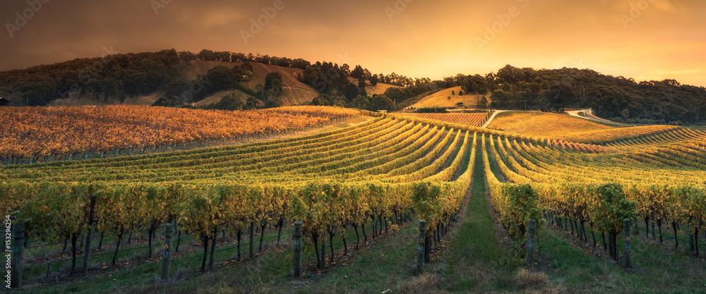 Fototapety, obrazy: Golden Sunset Vines