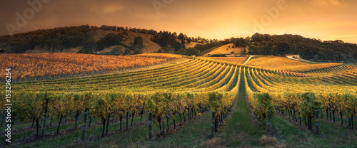 Photo sur Aluminium Vignoble Golden Sunset Vines