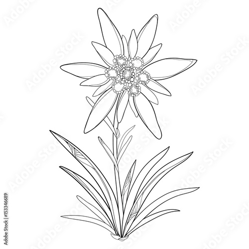 Vector Outline Edelweiss Or Leontopodium Alpinum Flower And Leaves