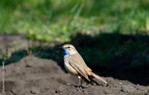Fotografía  The bird is the Bluethroat