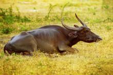 Closeup Image Of Thailand Buffalo Lying At Green Grass Background.