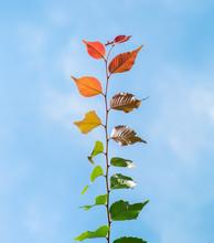 Multi Colored Leaves Phenomeno...