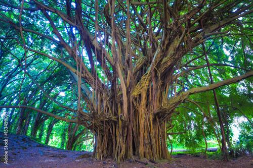 Photo Beautiful banyan tree