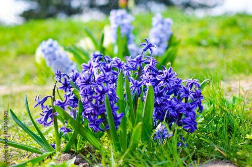 Foto op Canvas Bloemen Hyacinth Delft Blue bloomed on a flowerbed